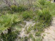 Αλοφυτική βλάστηση, πευκοδάσος και αναγέννηση του φυτού Chamaerops humilis
